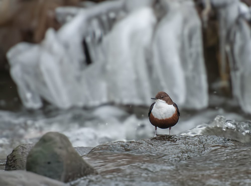 Dipper with Ice Sheet by Andy Pritchard - Barrowford