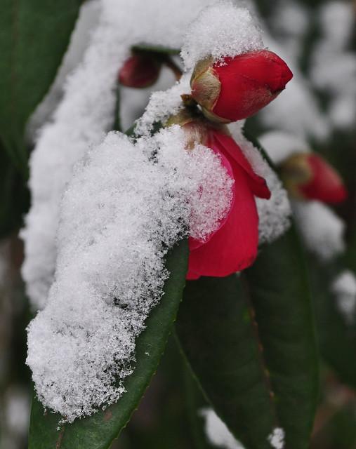 Camellia in Snow (2)