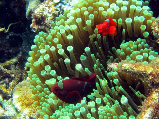 Clownfish are adorable
