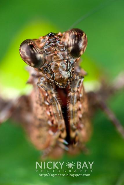 Pachymantis bicingulata - DSC_1571