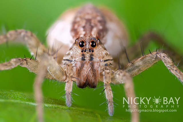 Wolf Spider (Lycosidae) - DSC_0533