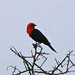 Small photo of Scarlet-headed Blackbird (Amblyramphus holosericeus)