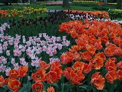 Dutch Tulips, Keukenhof Gardens, Holland - 0789