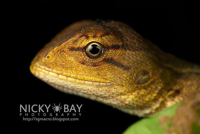 Changeable Lizard (Calotes versicolor) - DSC_7819