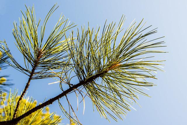 Ponderosa pine needles