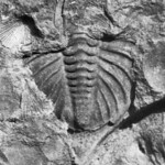 Trilobite pygidium of Dalmanites sp.