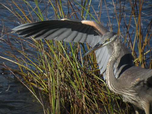 Grand Héron - Great blue Heron  20 Oct 2012 - 086 by Diane G....Thanks for over 50,000 Views....
