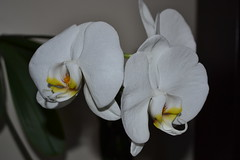 White Phalaenopsis bunch