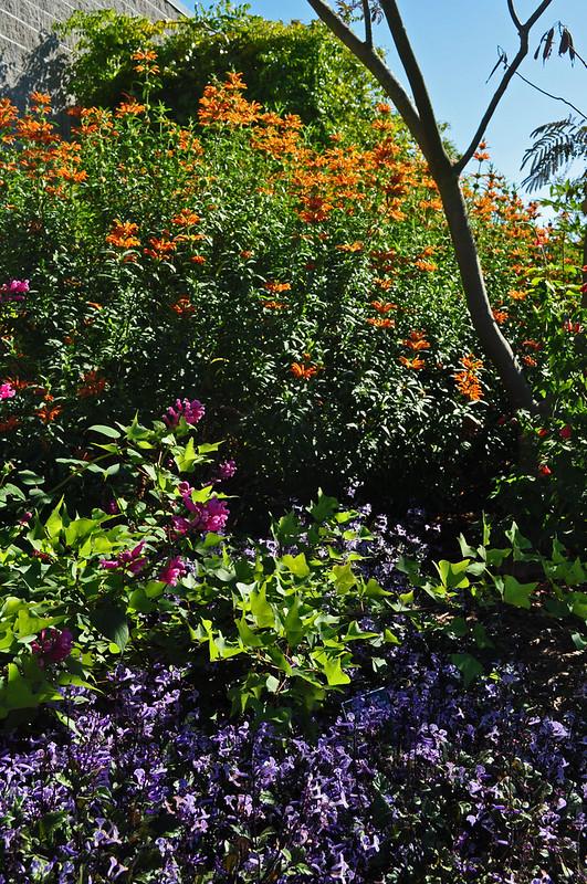 Plectranthus 'Mona Lavender'