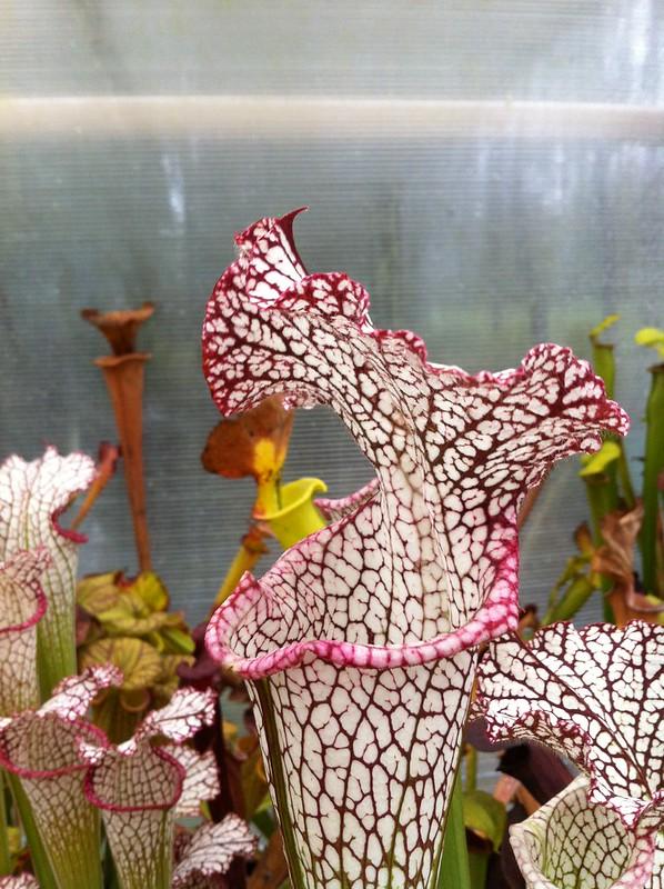Les peut être dernière photos de leucophylla de 2012 8114658377_916cd60314_c