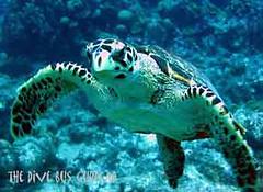Hawksbill_turtle_11