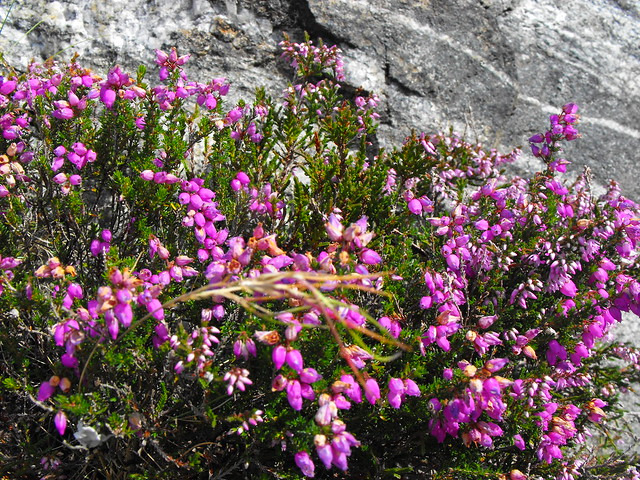 Bell Heather Flowers (pink)