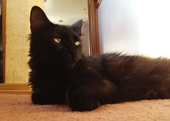 domestic long-haired cat, animal, small to medium-sized cats, pet, black cat, bombay, cat, carnivoran, whiskers, norwegian forest cat,