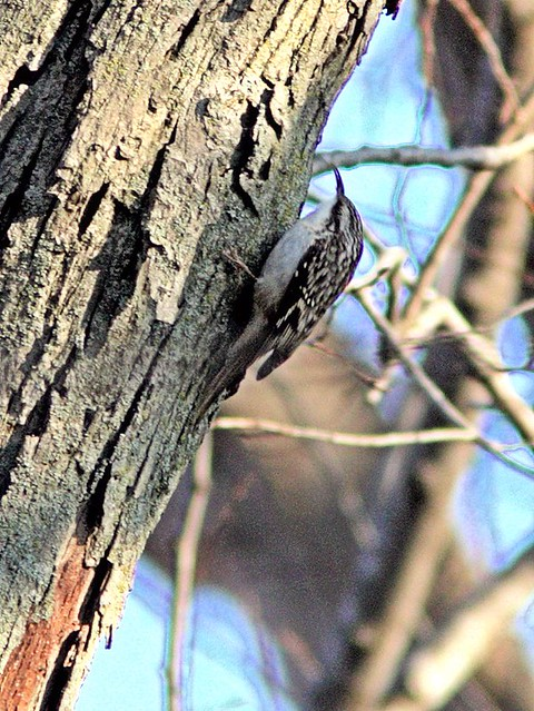 Brown Creeper Corel 20121025