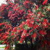 Our bottlebrush ? is amazing right now and full of birds and bees!!