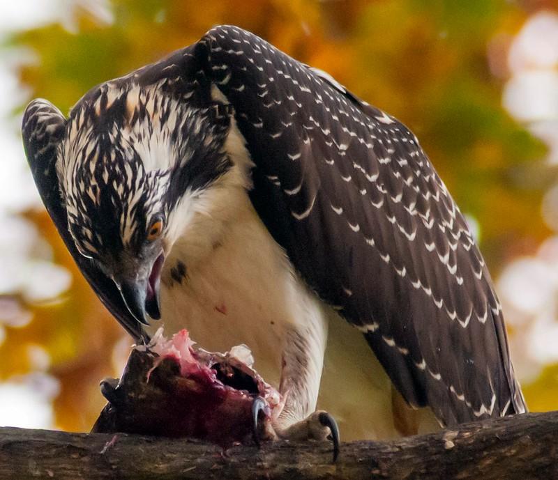 Osprey Breakfast 10/26