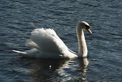 Cisne 3