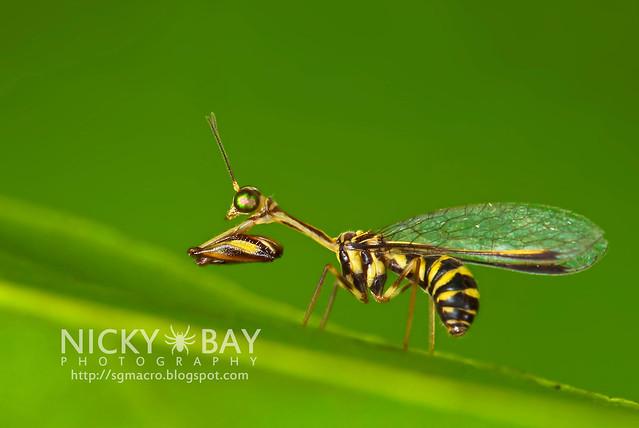 Mantisfly (Mantipidae) - DSC_9224