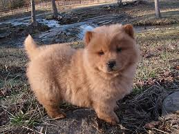 chow puppy