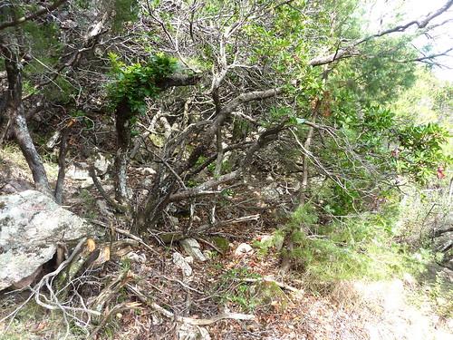 Chemin de la Montagne après le Valdu Grande : zone ventée avec gros problème de démaquisage, point extrême atteint fin octobre 2012