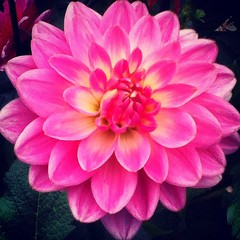 asterales, annual plant, dahlia, flower, plant, chrysanths, pink, petal,
