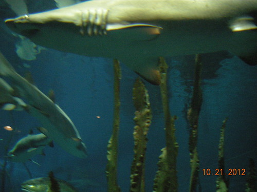Sharks swimming among tall seaweed