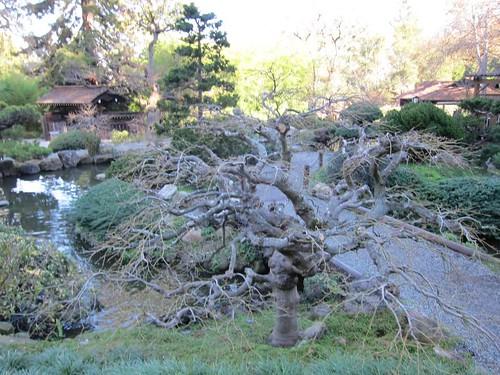 Hakone Japanese Gardens, Saratoga, CA, tree IMG_2419