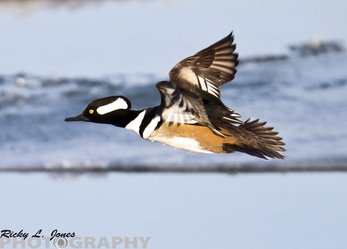 Hooded Merganser in Flight by Ricky L. Jones Photography