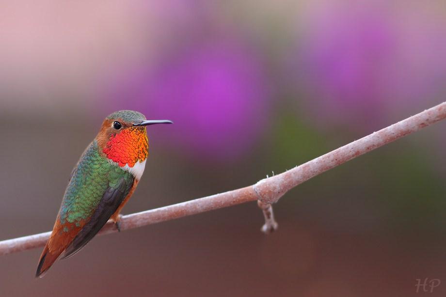 Allen's Hummingbird 010813