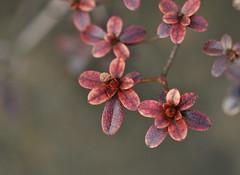 Kirishima Azalea Leaves