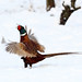 Pheasant  DV8B5958 by harrybursell