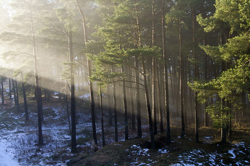 trees winter light mist snow sunshine forest pines trunks canonefs1785mmf456isusm canoneos7d