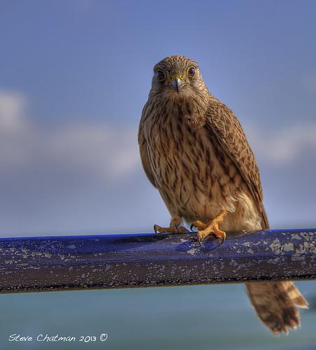 uk summer bird wales tenby kestrel 2012 stevechatman