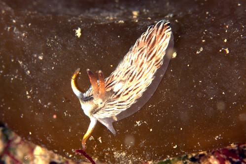 カスミミノウミウシ属の一種