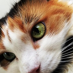 @ripleythepawrtist giving me #TheGreenEye #catsofinstagram #princess #calico