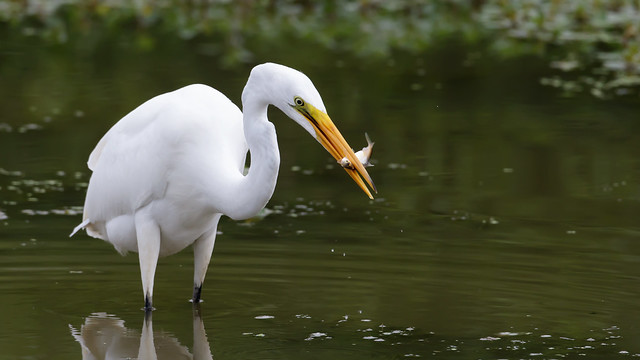 Great Egret by Steve Gifford