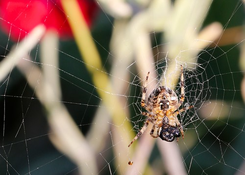 Garden Spider by TheUnseenScene (previously AnnerleyIRMacro)