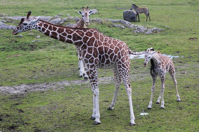 dyrepark_giraff