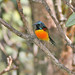 Small photo of Green-tailed Sunbird (Aethopyga nipalensis)