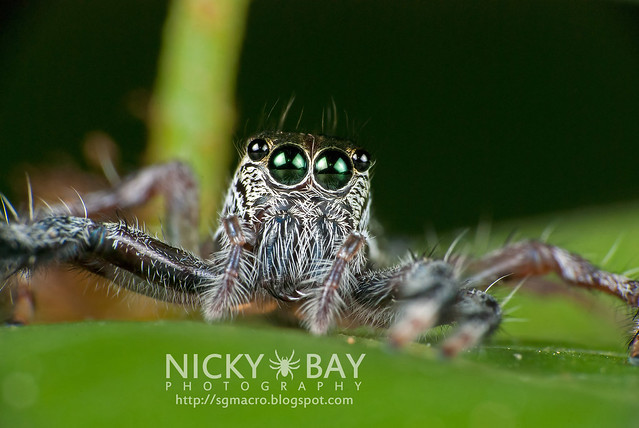 Jumping Spider (Salticidae) - DSC_8971
