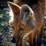 Maned Wolf native to South America is endangered in Argentina (3)