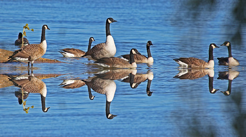 Canada Geese Sussex by Kinzler Pegwell