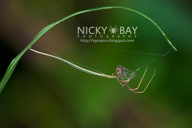 Whip Spider? (Ariamnes flagellum) - DSC_7261