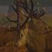 Clashing Antlers by Viki Herbert