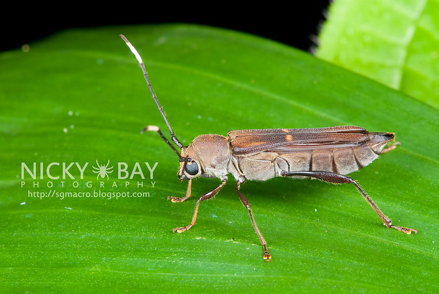 Longhorn Beetle (Cerambycidae) - DSC_6282