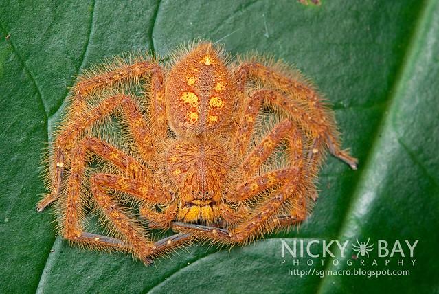 Huntsman Spider (Sparassidae) - DSC_5837