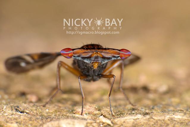Hammerhead Fly (Richardiidae) - DSC_5321