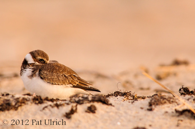 Semipalmated plover at sunset