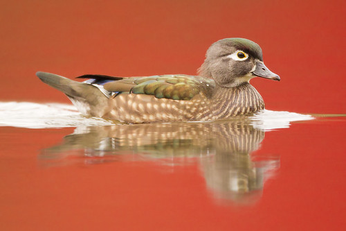 Mrs. Wood Duck on Reflected Sugar Maples by Jeff Dyck