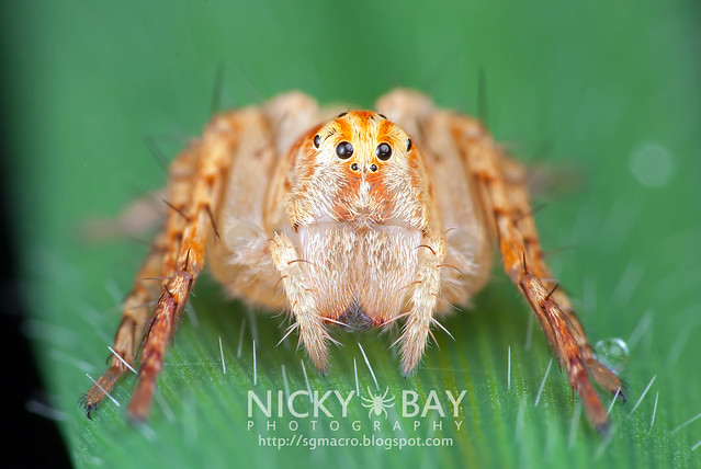 Lynx Spider (Oxyopidae) - DSC_2552